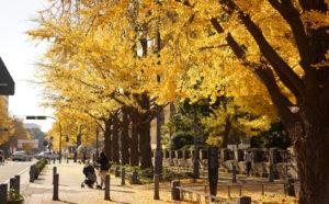 Yokohama Nihon Odori Gingko Tree street