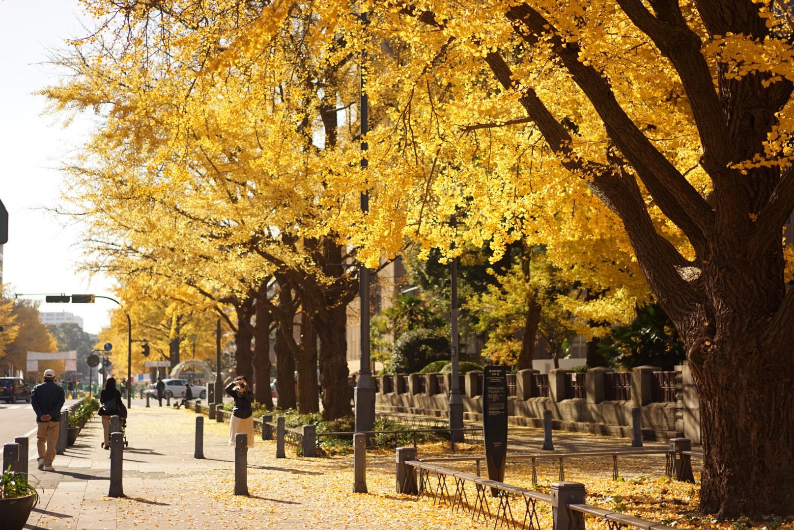 Gingko Tree Nihon Odori Yokohama1