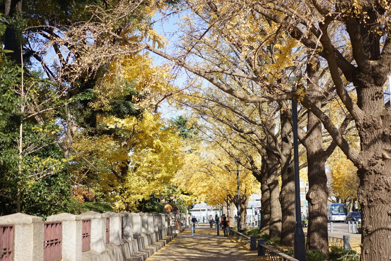 横浜日本大通り 銀杏並木