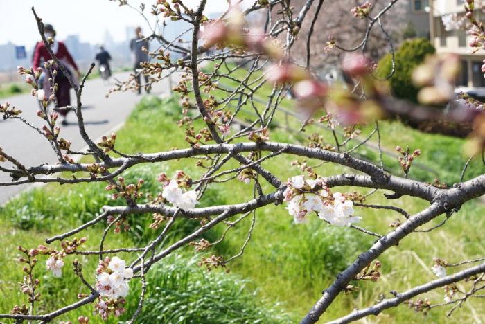 六郷土手 桜 咲き始め