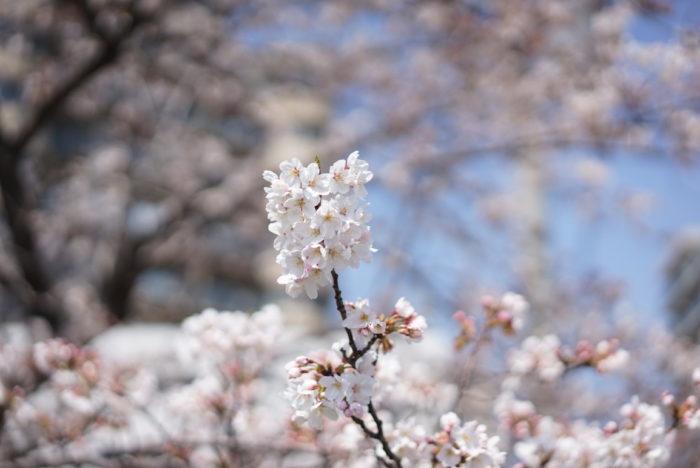 六郷土手 桜