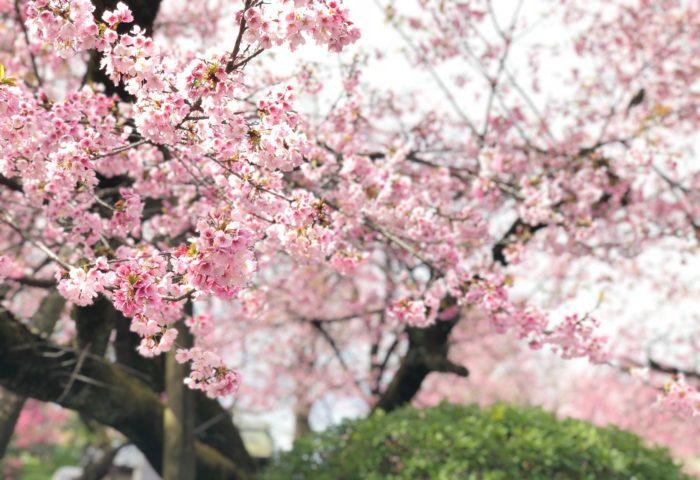 iPhone X ポートレートモード 桜 密蔵院