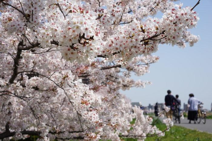 桜 満開 六郷土手