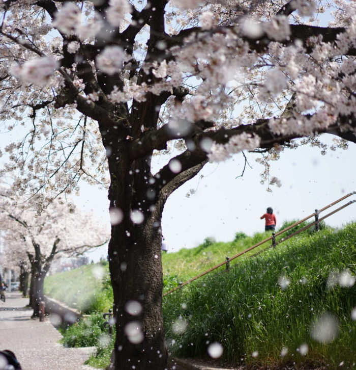 桜吹雪 六郷土手