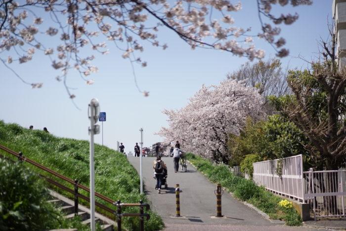 ベビーカー 六郷土手 桜