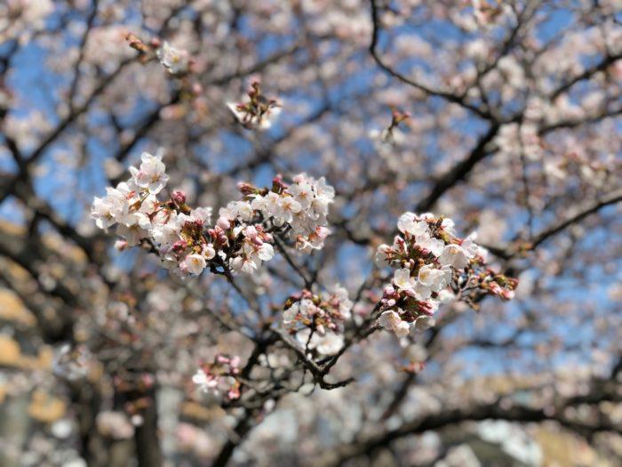 iPhone X ポートレートモード 桜