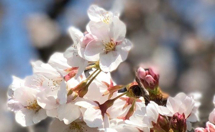iphone x ポートレートモード 桜 潰れる