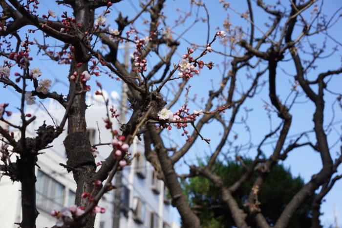 ume blossoms2