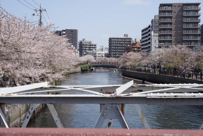 大岡川 桜 黄金町降りてすぐ