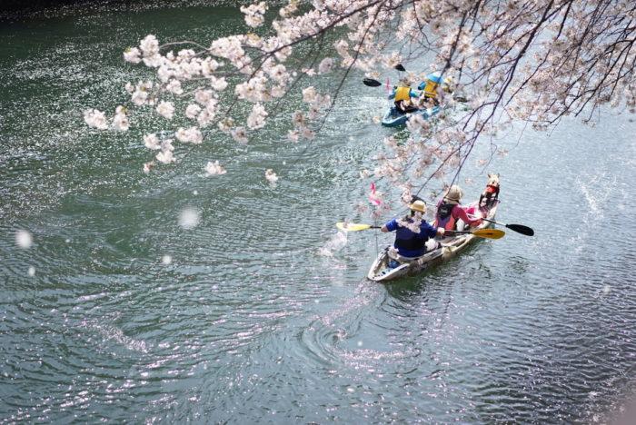 犬 大岡川 桜 ボート