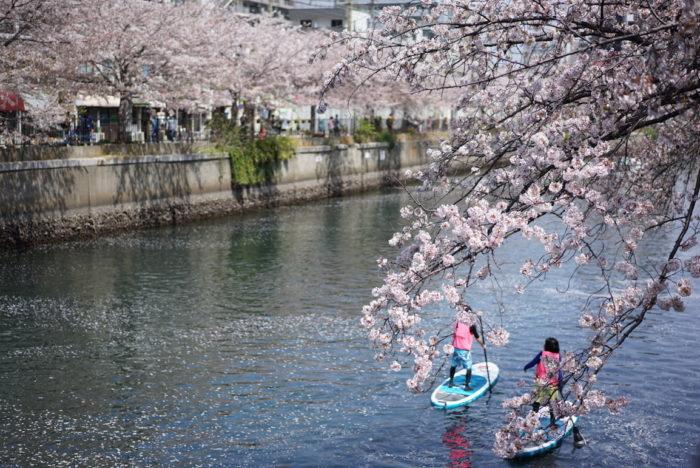 カヌー 大岡川 桜