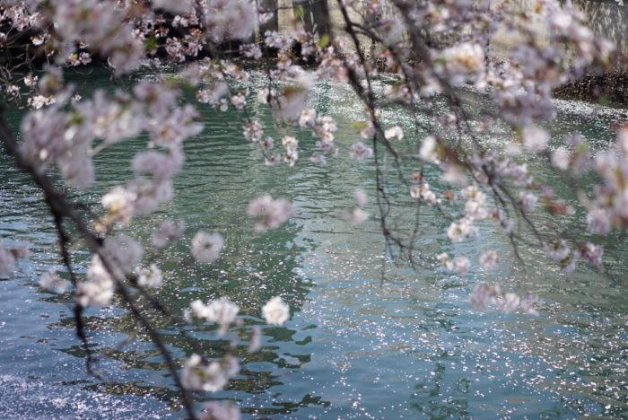 桜 大岡川