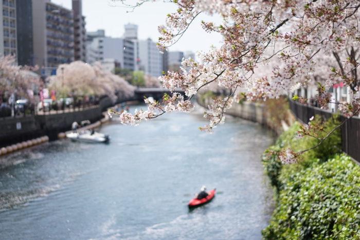 葉桜 大岡川 横浜