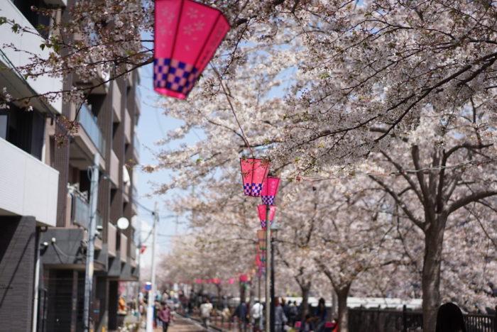 ぼんぼり 大岡川 桜