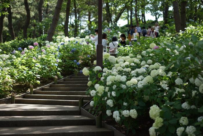 階段 八景島シーパラダイス あじさい