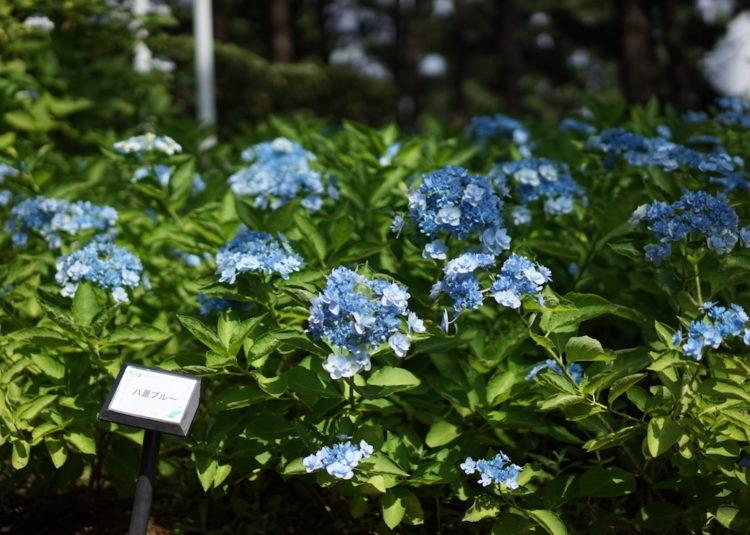 八景ブルー 紫陽花