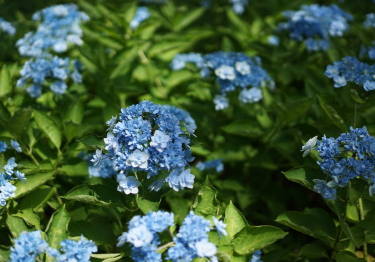 八景ブルー 紫陽花 シーパラダイス