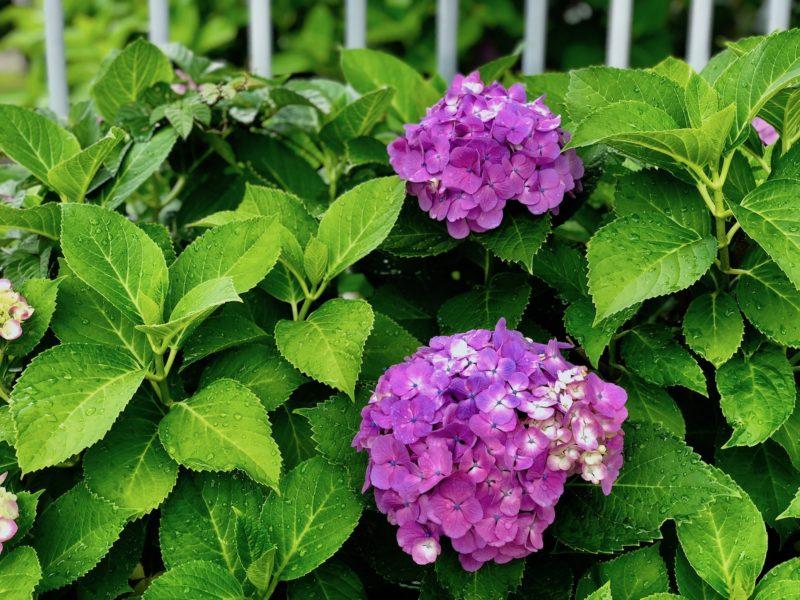 紫陽花 写真アプリ加工