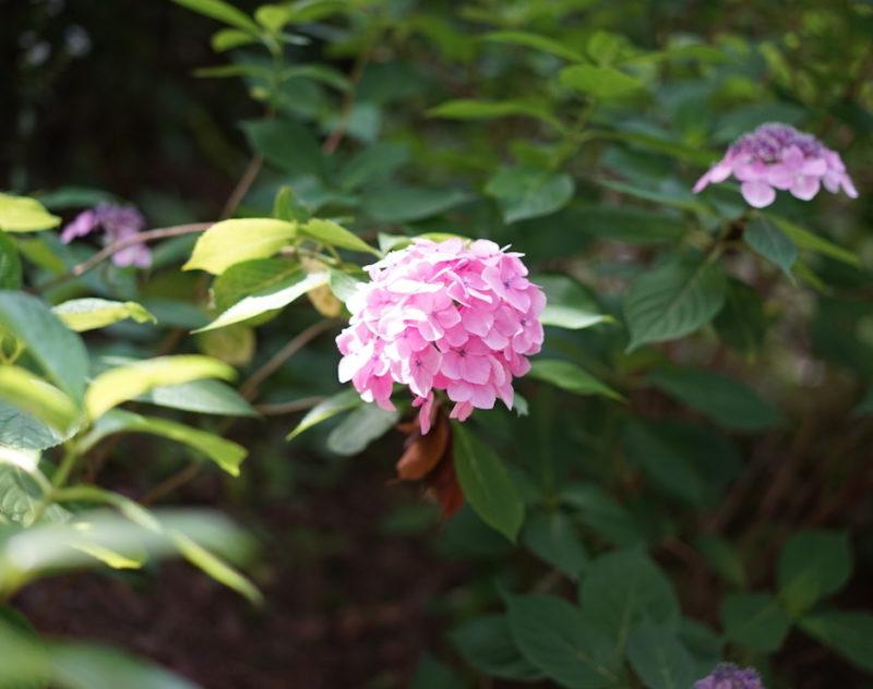 ピンク 紫陽花 八景島