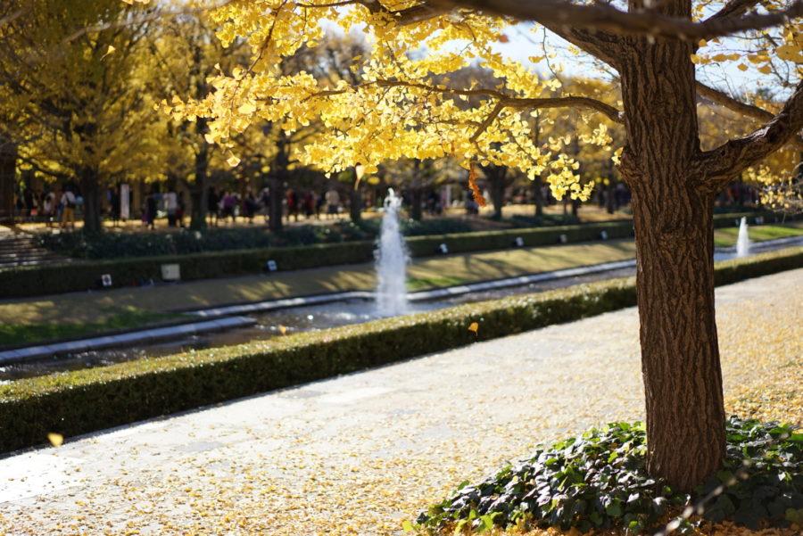 イチョウ 噴水 昭和記念公園