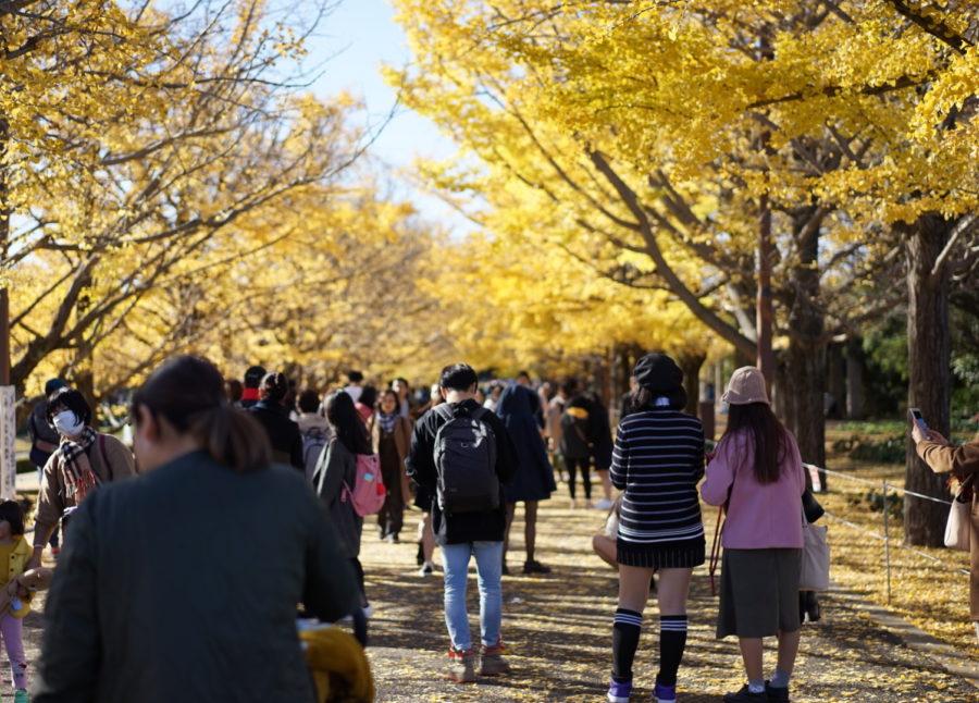 イチョウ並木 昭和記念公園