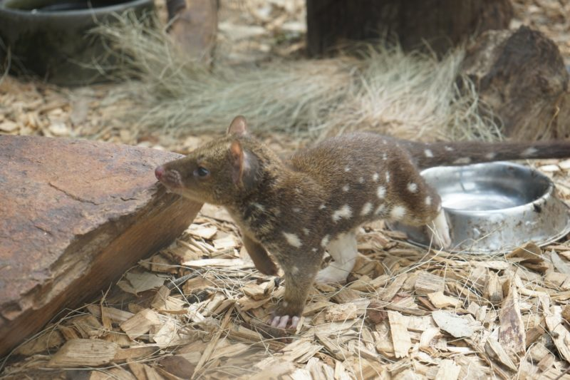 quoll タスマニア 動物