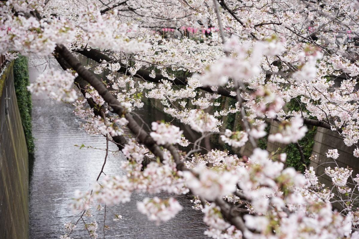 桜 ぼかし 目黒川上