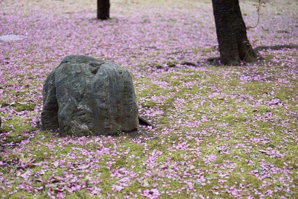 横浜緋桜 はなびら