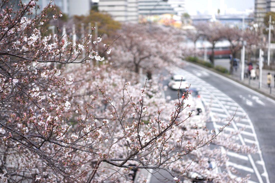 桜通りの開花状況 20190331
