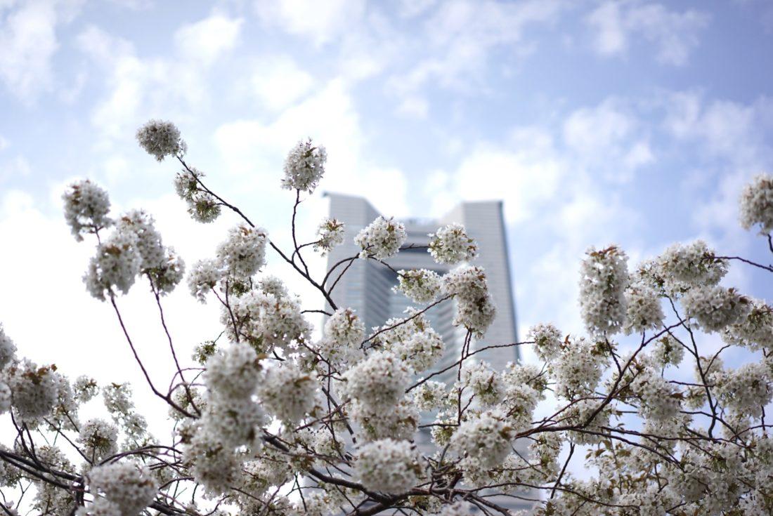 みなとみらい 汽車道 桜の写真