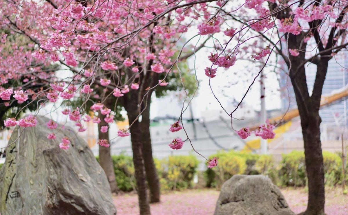 横浜緋桜と船 みなとみらい
