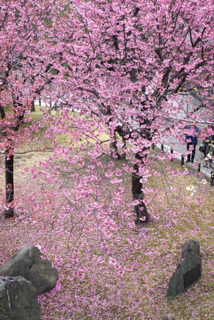 横浜緋桜 上から みなとみらい