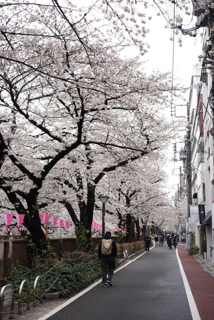 目黒川 散歩 桜