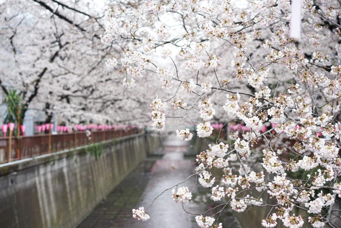 目黒川桜まつり 写真