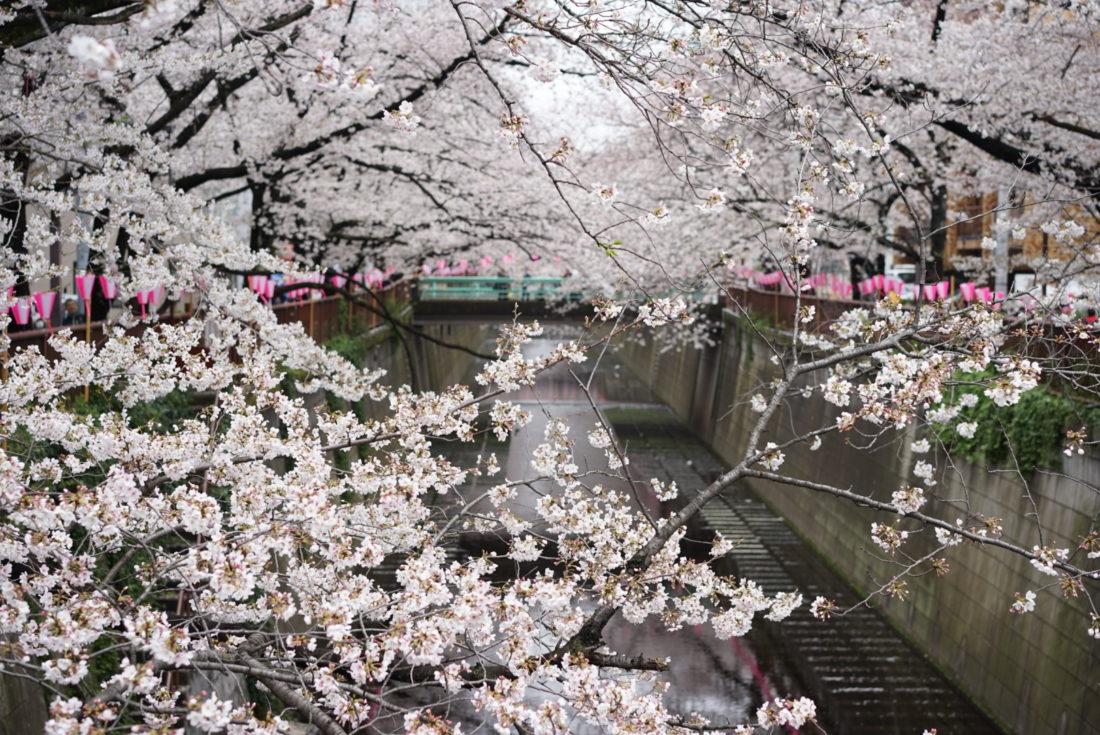 目黒川 桜 横