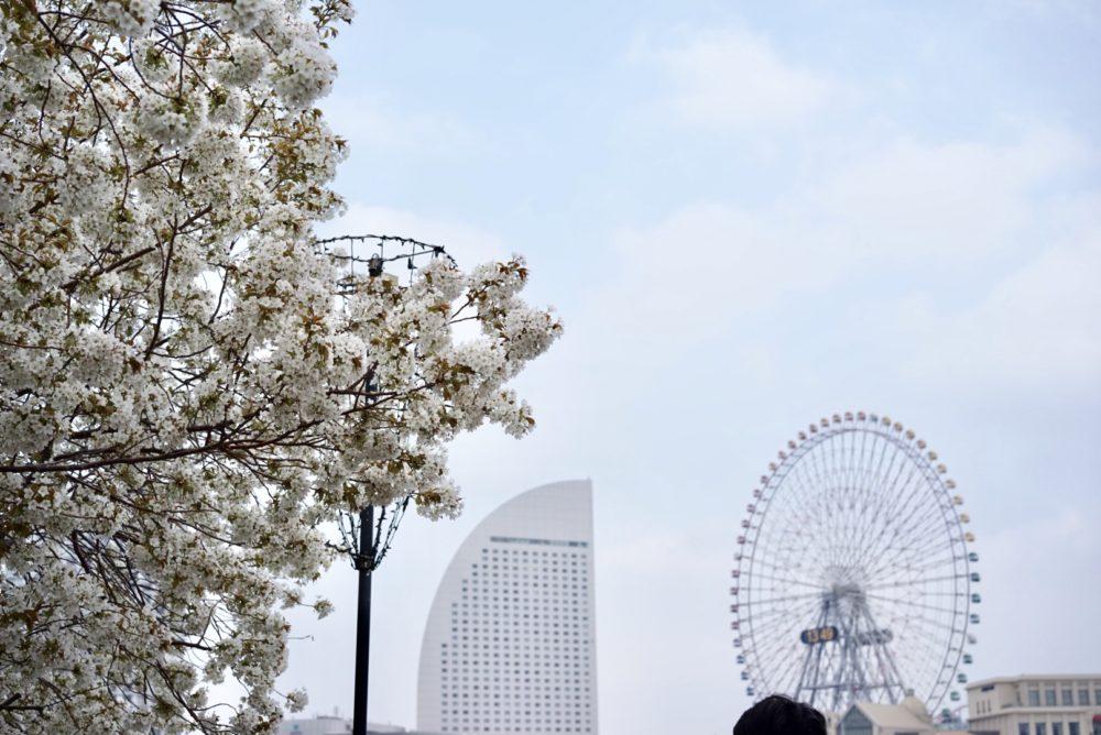 汽車道から 桜の写真