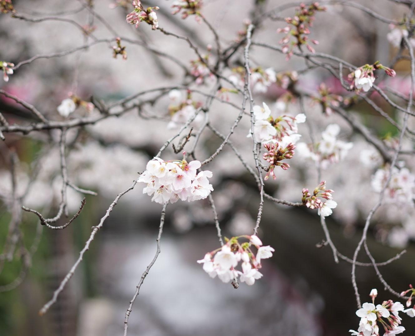 桜 目黒川 アップ