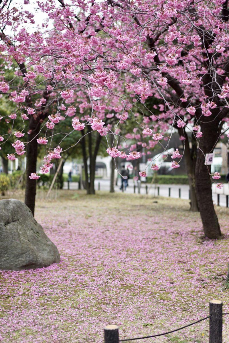 横浜緋桜 ヨコハマヒザクラ みなとみらい