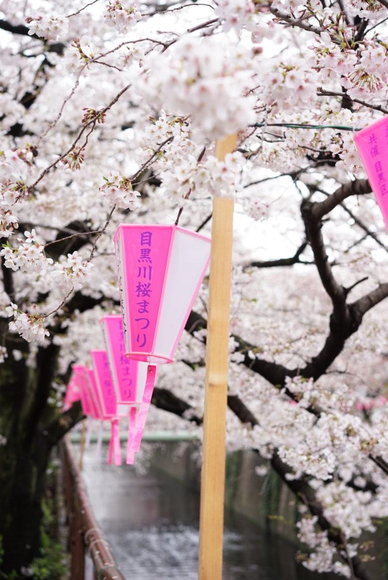 目黒川 桜 提灯