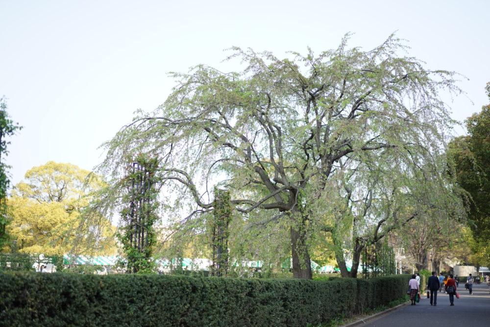 枝垂れ桜 山下公園 葉桜