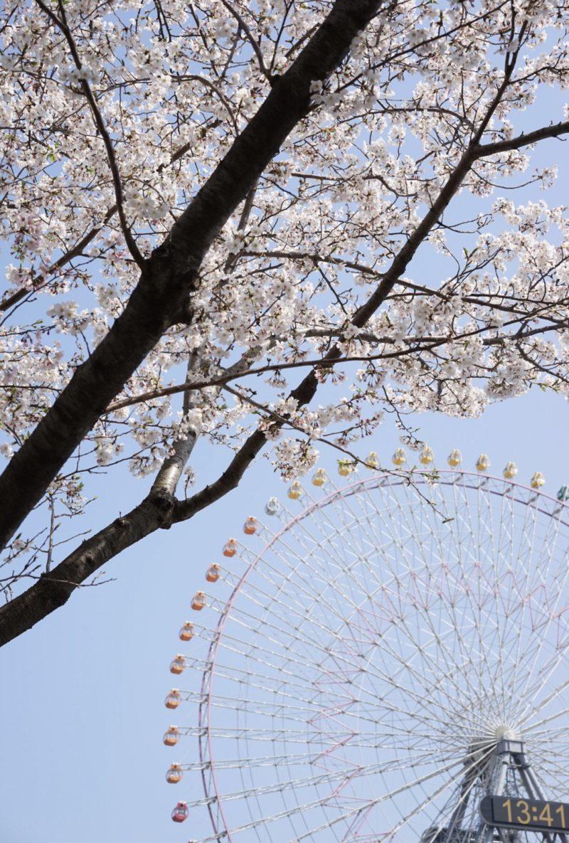 桜と観覧車 みなとみらい