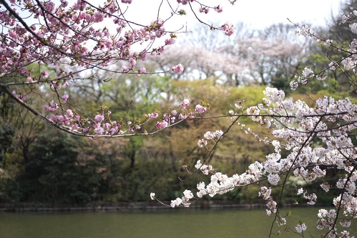 三ツ池公園 白とピンク