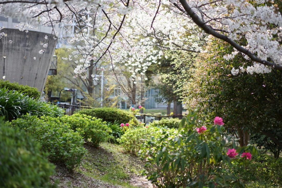 山下公園 花 桜