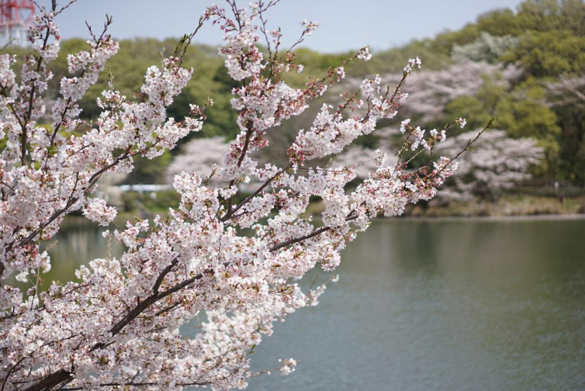 三ツ池公園 桜 ソメイヨシノ