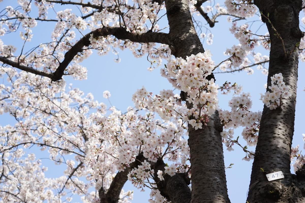 みなとみらいの桜 2019
