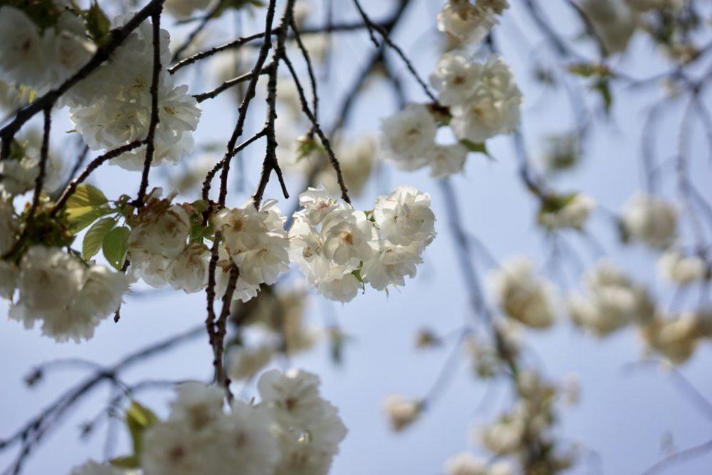 三ツ池公園桜 多種多様