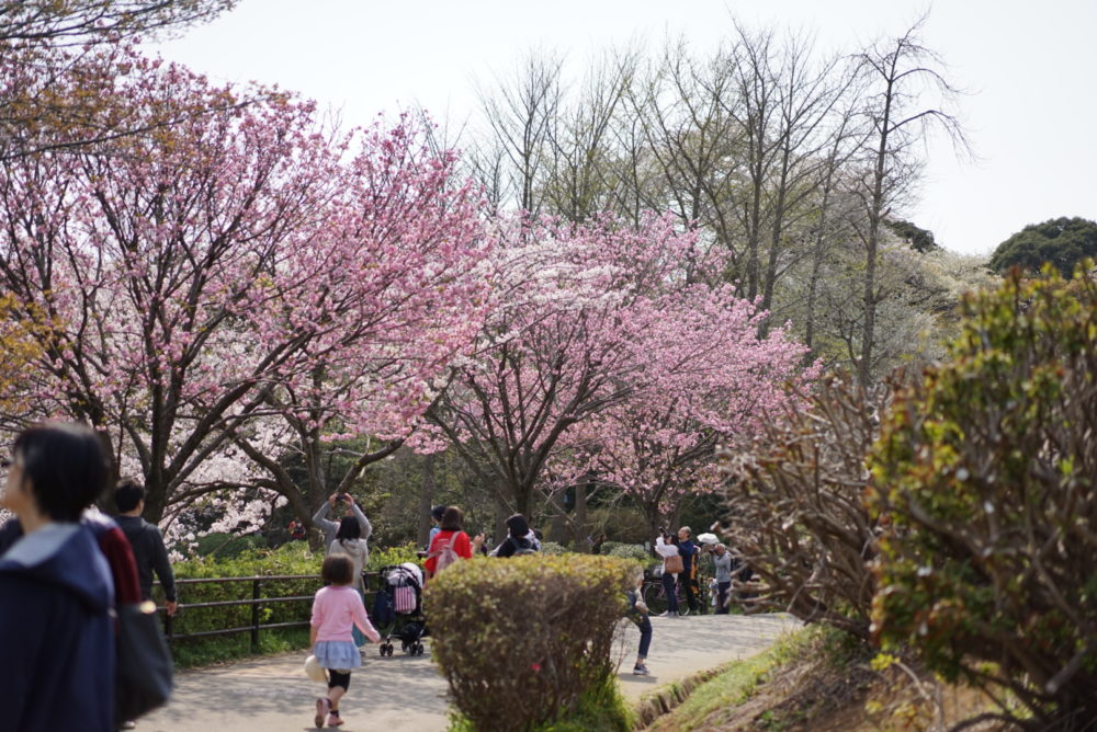三ツ池公園 桜 ピンク