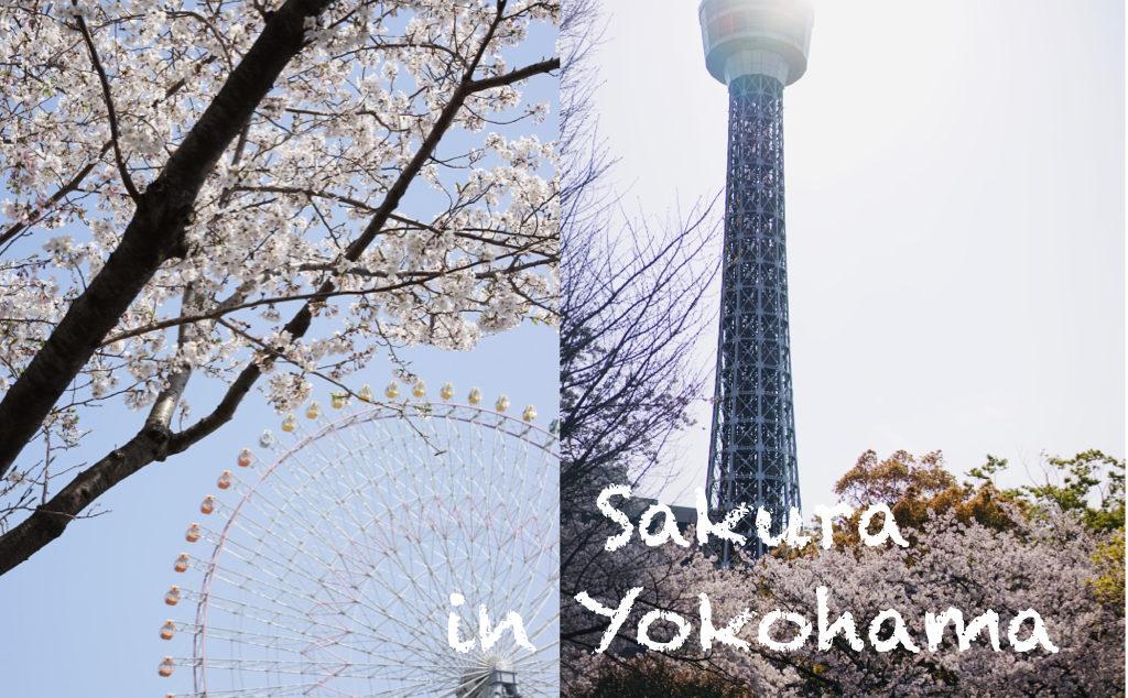 さくら 横浜
