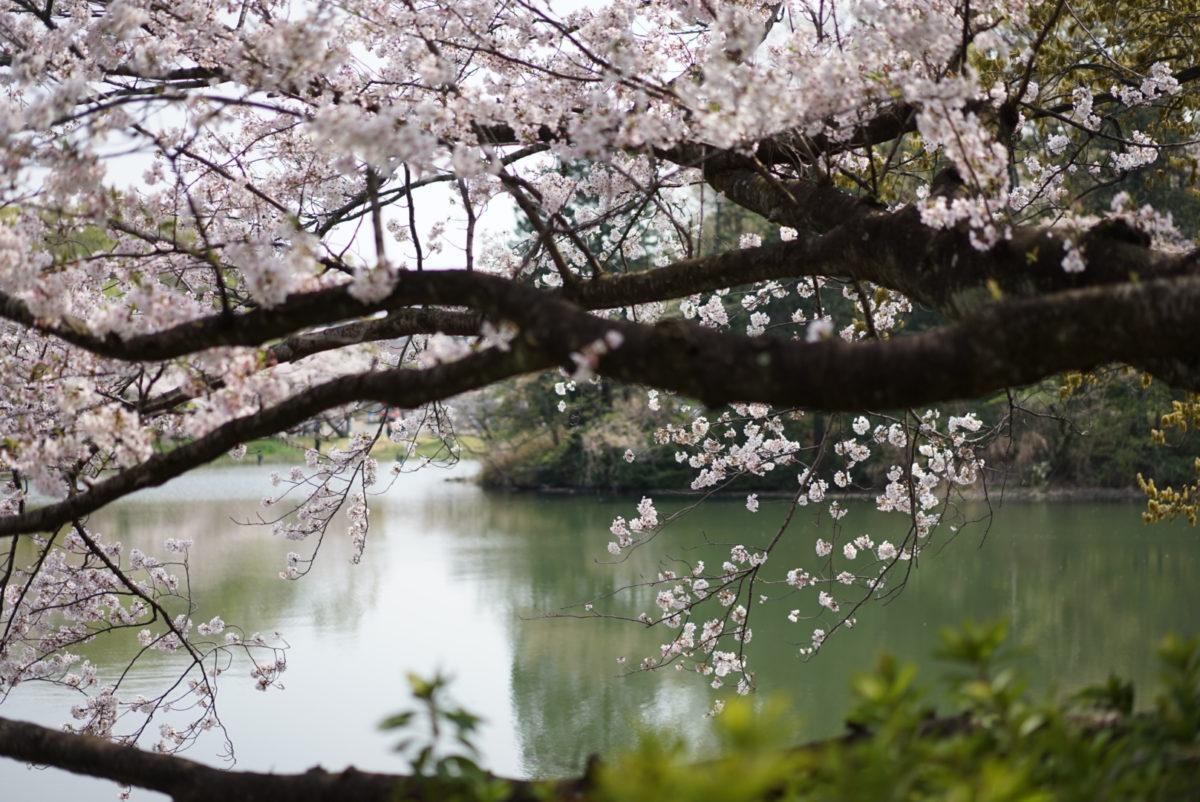 三ツ池公園 桜と池