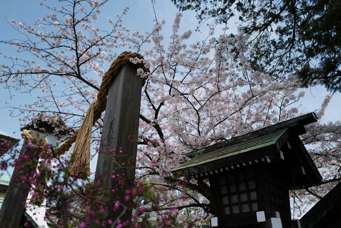 伊勢山皇大神宮 桜 20200322